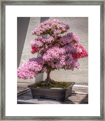 Azalea Bonsai Framed Print by Ross Henton