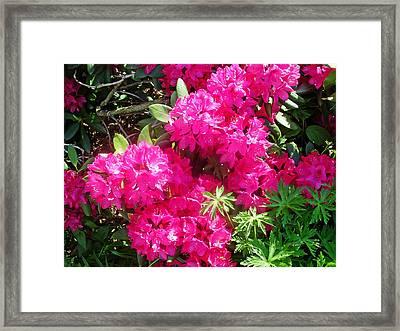 Azalea Bush Framed Print by Aimee L Maher Photography and Art Visit ALMGallerydotcom