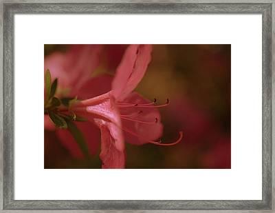 Azalea Festival  Framed Print by John Harding