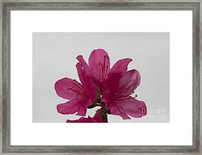 Azalea Rise Framed Print