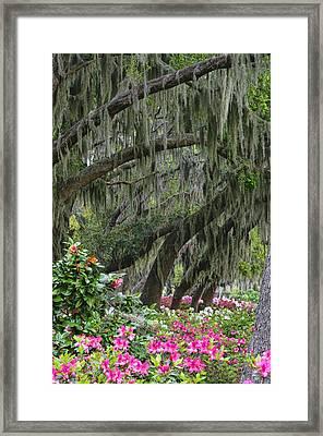 Azaleas 1 Framed Print by Betty Eich