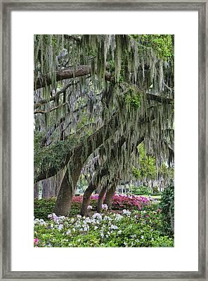 Azaleas 2 Framed Print by Betty Eich