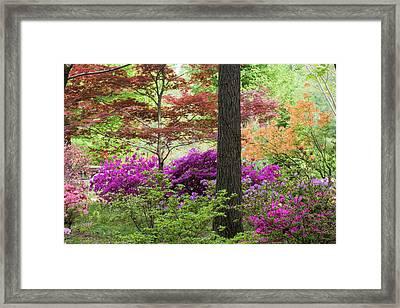 Azaleas And Japanese Maples At Azalea Framed Print