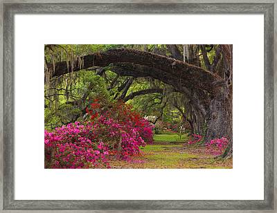 Azaleas And Oaks Framed Print by Mike Lang