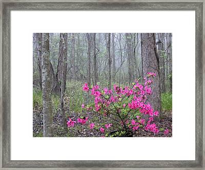 Azaleas In Fog Framed Print by Cindy McIntyre