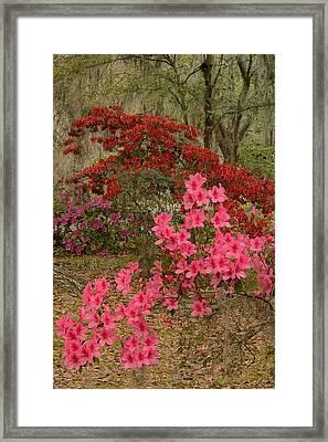 Azaleas Time Framed Print