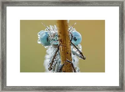 Azure Damselfly Framed Print by Heath Mcdonald