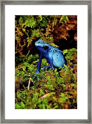 Azure Dart Frog Dendrobates Azureus Framed Print by David Northcott
