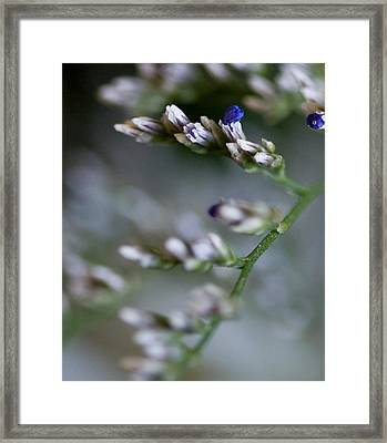 Babies Breath Framed Print by John Holloway