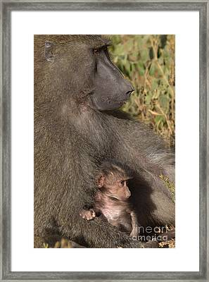 Baboon And Young Framed Print