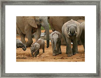 Baby African Elephants Framed Print