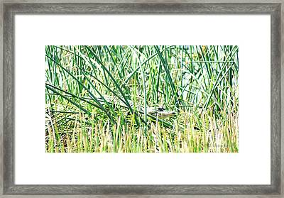 Baby Aligator In The Weeds Framed Print by Walter Rickard