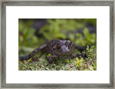 Baby Alligator Framed Print by Andres Leon