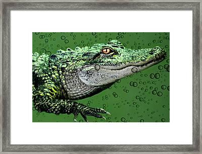 Baby Alligator Framed Print by Diana Angstadt