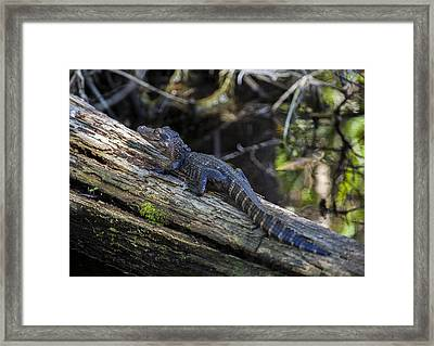 Baby Alligator Framed Print