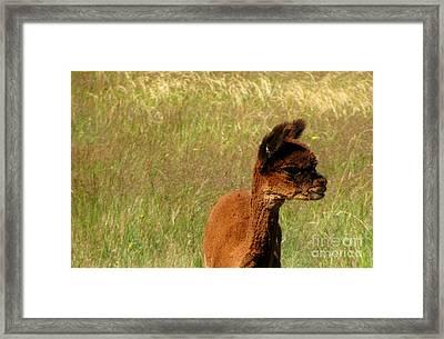 Baby Alpaca Framed Print