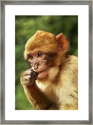 Framed Print featuring the photograph Baby Barbary Macaque by Selke Boris