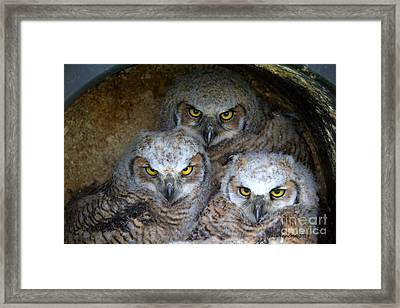 Baby Big Horned Owls Framed Print