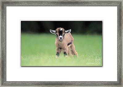 Baby Billy Goat Painting Framed Print by Marvin Blaine