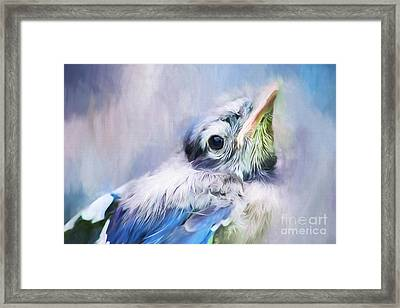 Baby Blue Jay Framed Print by Darren Fisher