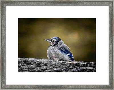 Baby Blue Jay Framed Print by Robert Frederick