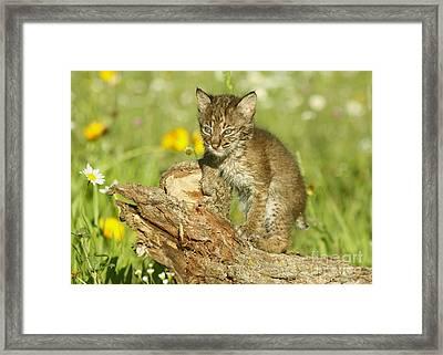 Baby Bobcat At Play Framed Print by Myrna Bradshaw