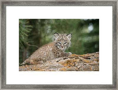 Baby Bobcat Framed Print by M. Watson