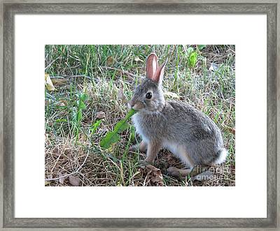 Baby Bunny Eating Dandelion #01 Framed Print