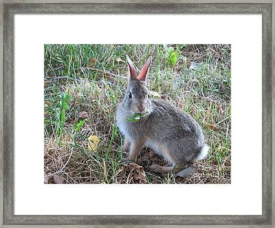 Baby Bunny Eating Dandelion #02 Framed Print by Ausra Huntington nee Paulauskaite