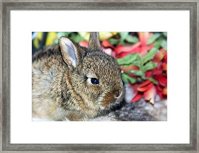 Baby Bunny Rabbit Framed Print by Karon Melillo DeVega