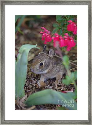 Framed Print featuring the photograph Baby Bunny by Tannis  Baldwin