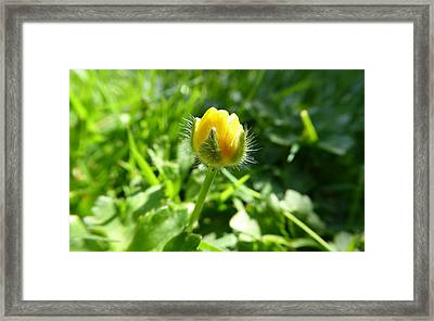 Framed Print featuring the photograph Baby Buttercup by Laurie Tsemak