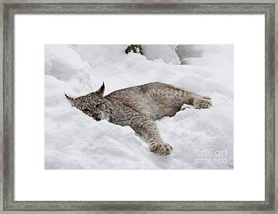 Baby Canadian Lynx Laying In The Snow Framed Print
