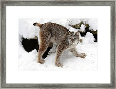 Baby Canadian Lynx Leaving The Winter Den Framed Print
