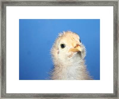 Baby Chicken Framed Print by Carolyn Reinhart