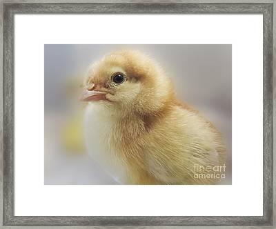Baby Chicken Framed Print by Darleen Stry
