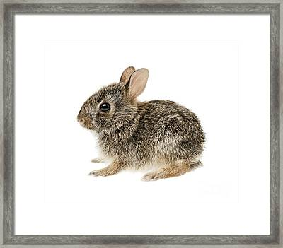 Baby Cottontail Bunny Rabbit Framed Print