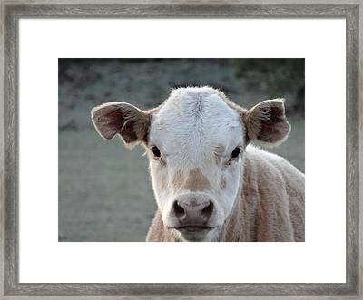Baby Cow In Colorado Framed Print