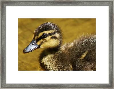 Baby Duck Framed Print by Paulette Thomas