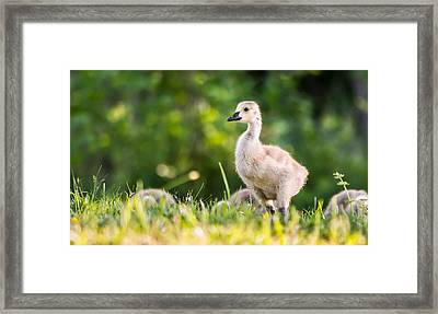 Baby Duckling In The Morning Light Framed Print by Parker Cunningham