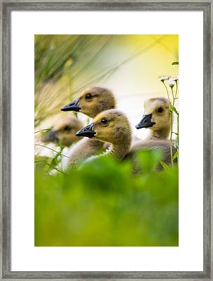 Baby Ducklings Framed Print