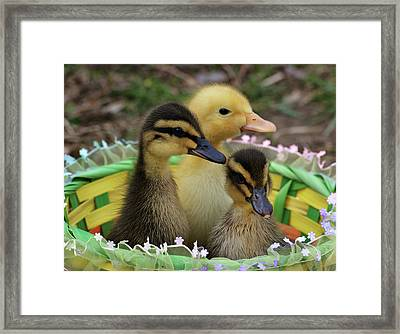 Baby Ducks Framed Print