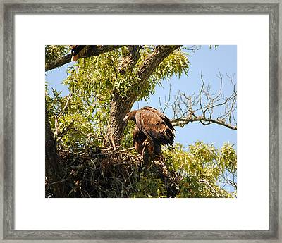 Baby Eagle Perched On Nest Framed Print by Jai Johnson