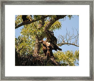 Baby Eagle Stretching His Wings Framed Print by Jai Johnson