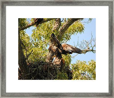Baby Eagle Trying To Fly II Framed Print by Jai Johnson