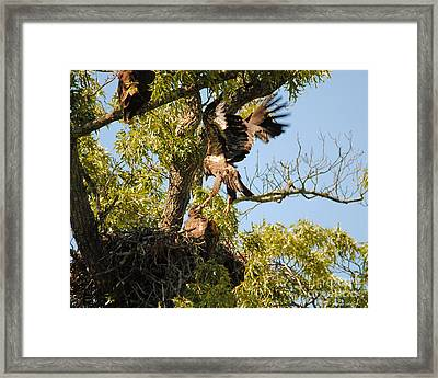 Baby Eagle Trying To Fly Framed Print by Jai Johnson