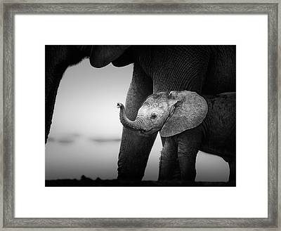 Baby Elephant Next To Cow  Framed Print by Johan Swanepoel