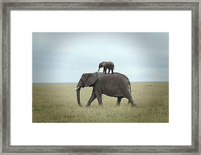 Baby Elephant On The Back Of His Mother Framed Print by Buena Vista Images