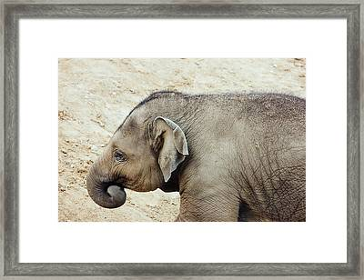 Baby Elephant Framed Print by Pati Photography
