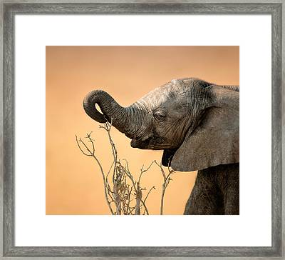 Baby Elephant Reaching For Branch Framed Print by Johan Swanepoel